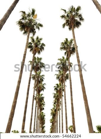 Hollywood palms - stock photo
