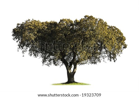 Holm oak (Quercus ilex) in the blooming season showing catkins isolated on white - stock photo