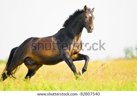 Holstein bay horse in freedom runs gallop on the meadow