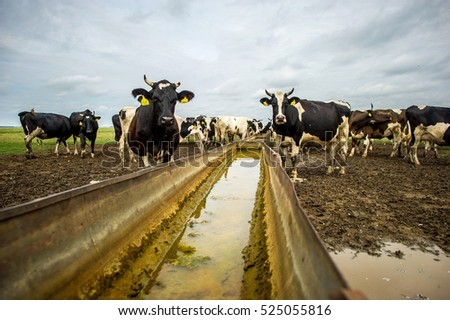 Holstein cattle drinking water in a country field