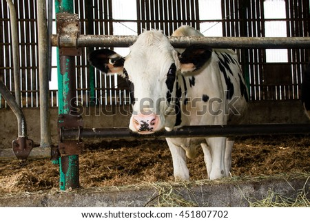 Holstein cattle in the barn - stock photo