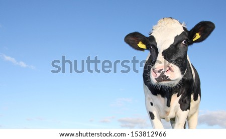 holstein cow against blue sky - stock photo