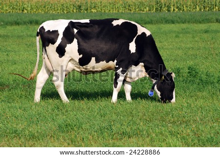 holstein cow grazing on grass field - stock photo