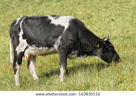 holstein cow grazing on meadow in the farm enclosure