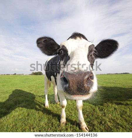 Holstein cow in a field, close-up - stock photo