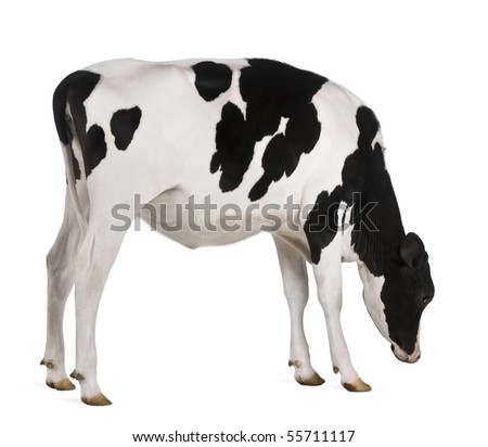 Holstein cow, 13 months old, standing against white background - stock photo