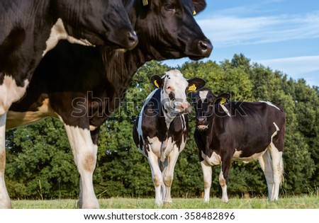 Holstein cow on  the pasture - stock photo