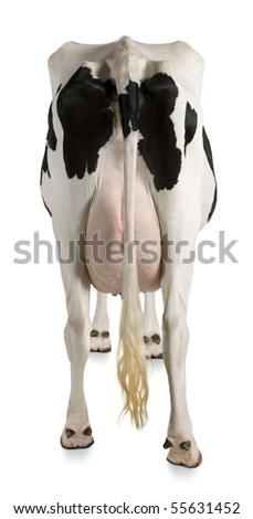 Holstein cow, 5 years old, against white background, rear view - stock photo