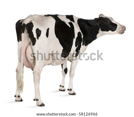 Holstein cow, 5 years old, standing in front of white background