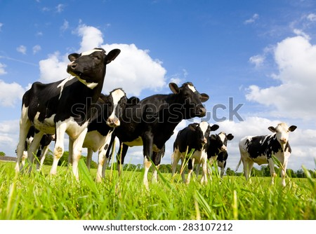 Holstein cows in the meadow - stock photo