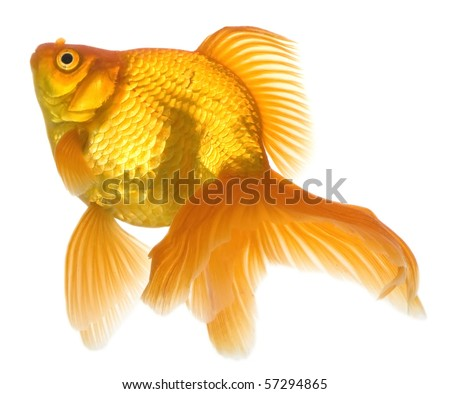 Realistic detailed vector illustration goldfish on stock for Ok google plenty of fish