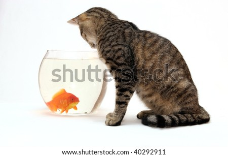 Home cat and a gold fish - stock photo