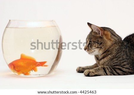 Home cat  and a gold  fish. - stock photo