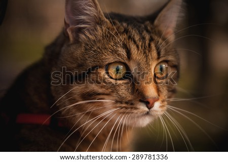 home cat with red collar portrait on blurred background