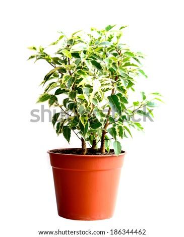Home flower in a pot. ficus benjamina - stock photo