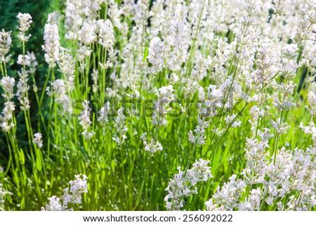 Home garden with freshly flowering white lavender - stock photo