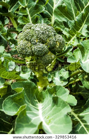 Home grown broccoli head and leaves in vegetable garden