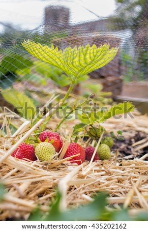 Home Grown Strawberries, fruit and vegetable garden. - stock photo