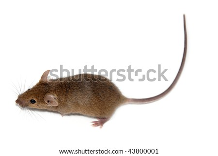 home mouse - stock photo