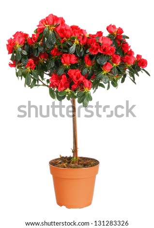 Home plant azalea on white background - stock photo