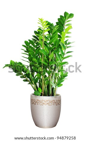 Home plant in flowerpot. Isolate on white. - stock photo