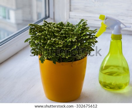 """Home plant Selaginella martensii """"Watsoniana"""" and transparent yellow plastic spray bottle on the window - stock photo"""