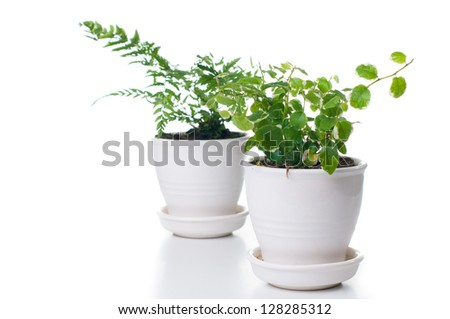 Home plants with green leaves in a white ceramic pot, isolated - stock photo