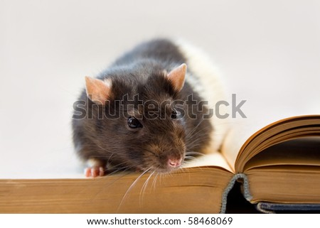 Home rat sitting on an old book - stock photo