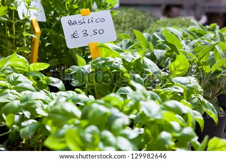 Homegrown basil seedling pots at the Italian market - stock photo