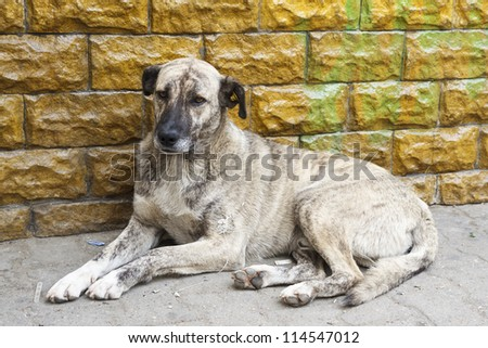 Homeless dirty dog resting near a wall. - stock photo