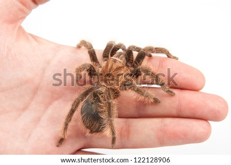 Honduran curly hair tarantula sitting on human mad hand on white background