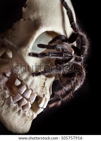 Honduran Curlyhair tarantula (Brachypelma albopilosum) crawled through the skull. - stock photo