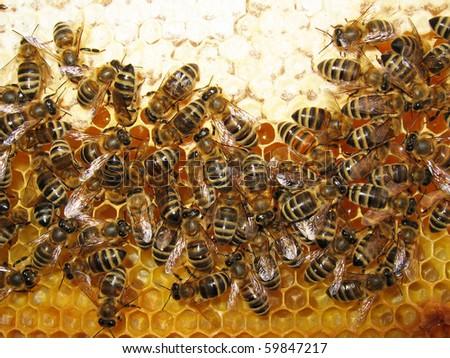 honey and honey bees working - stock photo