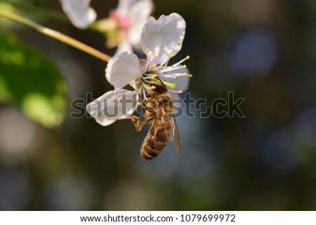 stock-photo-honey-bee-apis-mellifera-col