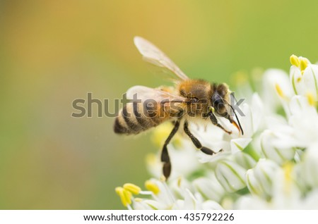 Honey bee (Apis mellifera) nectaring on onion flowers with a soft background - stock photo