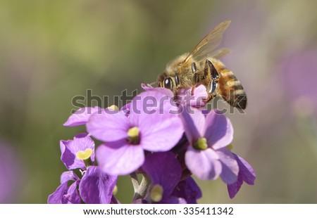 Honey Bee (Apis mellifera), on purple flower, Gabriola Island , British Columbia, Canada  - stock photo
