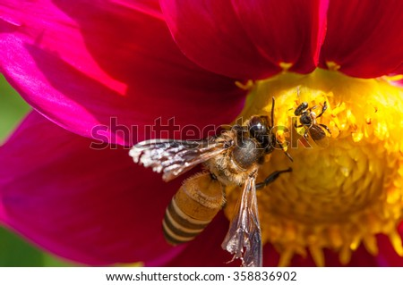 Honey Bee at work on Pink Flower, Close Up Macro - stock photo