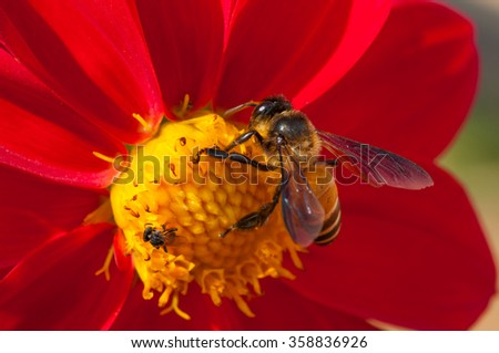 Honey Bee at work on Red Flower, Close Up Macro - stock photo