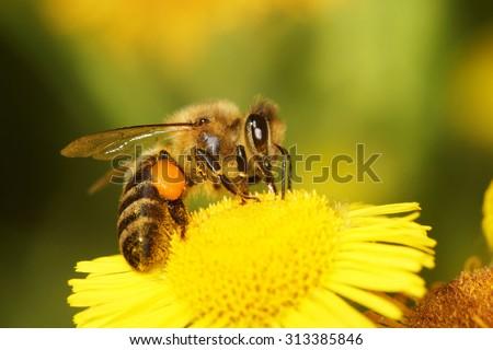 Honey Bee, Bee - stock photo