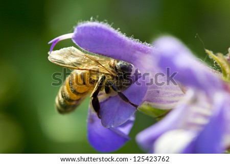 honey bee collecting nectar from a sage flower. Macro image - stock photo