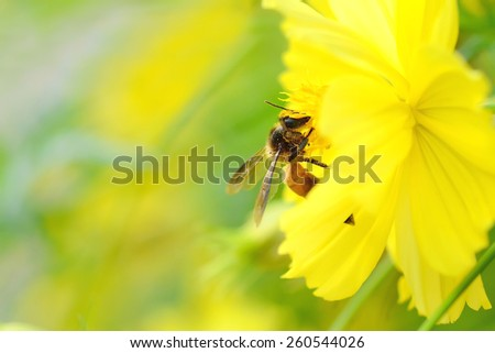 Honey bee collecting nectar from dandelion flower in the summer time - stock photo