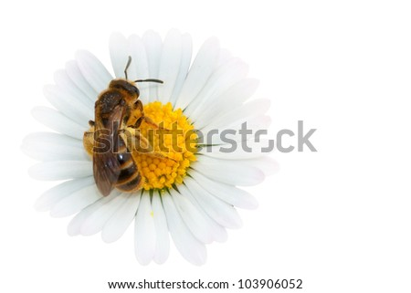 honey bee collecting nectar on a flower - isolated on white background - stock photo