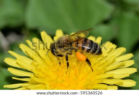 Honey bee collecting pollen from a yellow dandelion flower.