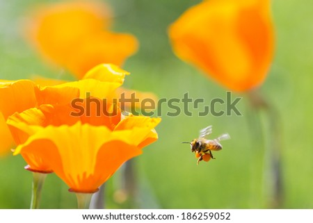 Honey bee collecting pollen from California golden poppies - stock photo