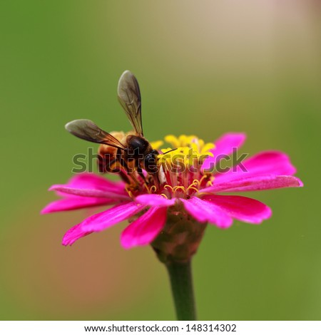 Honey Bee collecting pollen from flowers. - stock photo