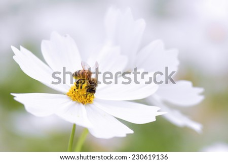 Honey bee collecting pollen from white cosmos flower. - stock photo