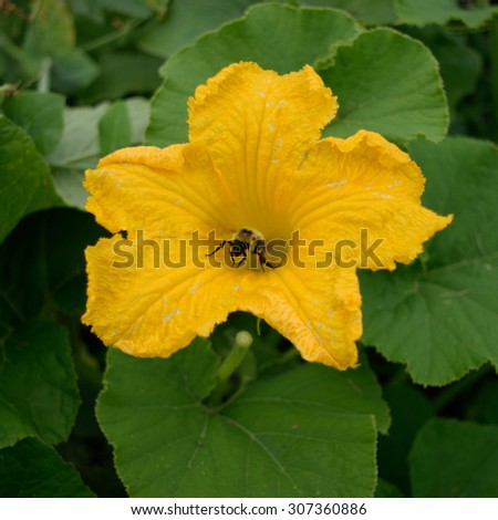 Honey Bee Collecting Pollen of Squash Flower - stock photo