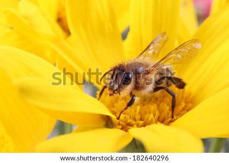 Honey Bee collecting Pollen on a Bright Yellow Flower - stock photo