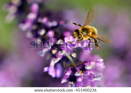 Honey Bee collecting pollen on a lavender branch - stock photo