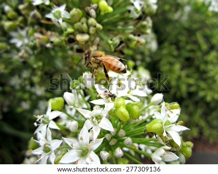 Honey bee collecting pollen on white garlic chive blossoms. - stock photo